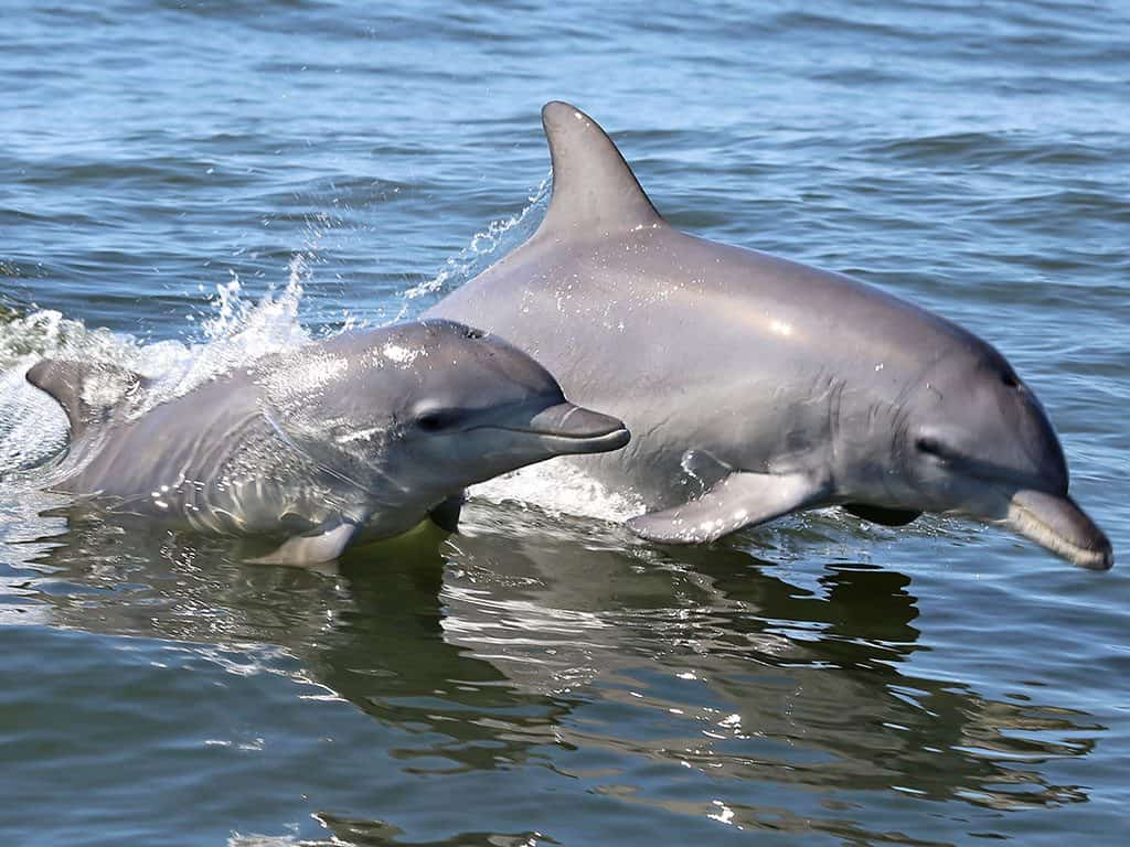A baby and mother Dolphin swimming side by side