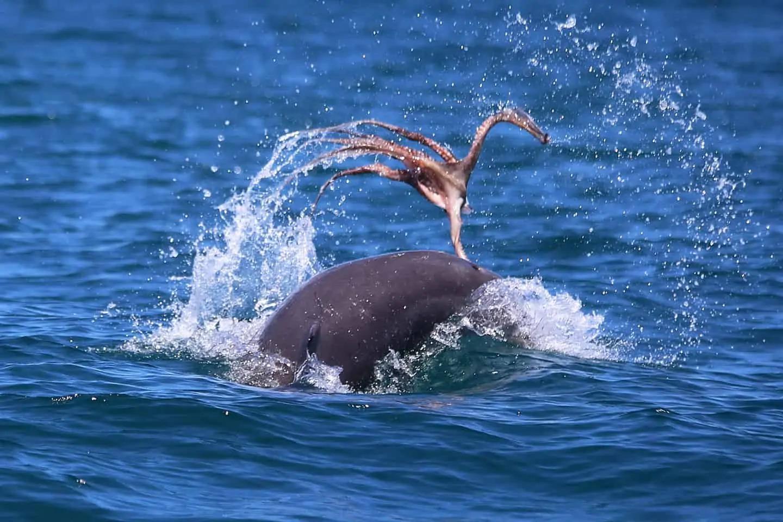 mandurah dolphin octopus toss