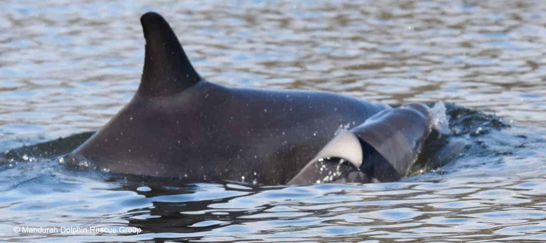 wild dolphin birth mandurah western australia