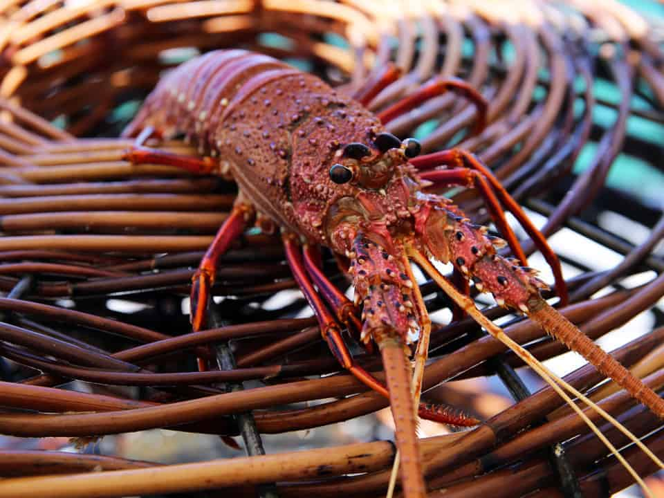 Close up view of a Western lobster perched on a weaved basket