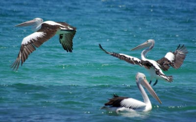 Pelicans taking flight in the ocean