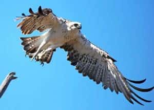 Osprey soaring above for fish