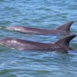 Male dolphin Alliance